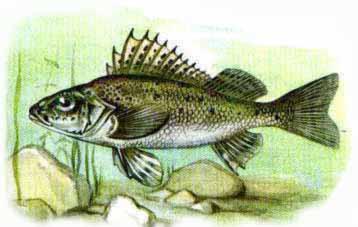 какая рыба клюет на воблер