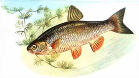 картинки речные рыбы.