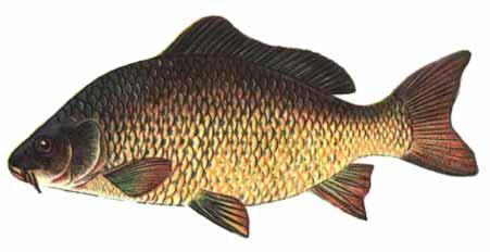 Виды речных рыб.  Просмотров: 396 Добавил: Tsarenko Дата.