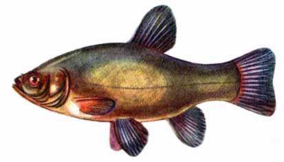 рыба линь на что клюет