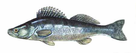 Рыба судак фото.